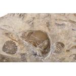 Thumbnail image for Trilobite Brachiopod