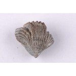 Thumbnail image for Brachiopod