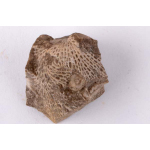 Thumbnail image for Bryozoa