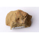 Thumbnail image for Brachiopod and Bivalve