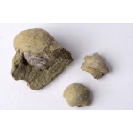 Thumbnail image for Brachiopods