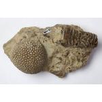 Thumbnail image for Cricoconarid and Coral - Tabulate