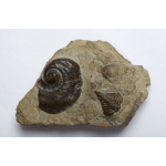 Thumbnail image for Gastropod and Trilobite