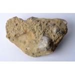 Thumbnail image for Trilobite and Brachiopod