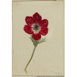 Thumbnail image for Painting of red anemone. Signed and dated by Charlotte Morice, April [1833]