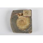 Thumbnail image for Ammonite