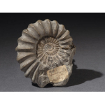 Thumbnail image for Ammonite