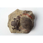 Thumbnail image for Bivalve and Trilobite