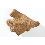 Thumbnail image for Coral - Rugose