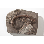 Thumbnail image for Ammonite and Gastropod